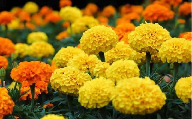 Chiết tách lutein từ hoa Cúc vạn thọ làm chất màu thực phẩm
